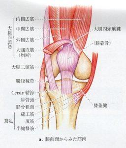 膝の前面の筋肉